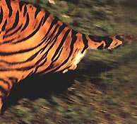 Tiger Tour India, Indian Wildlife Tour, Tiger Safari India