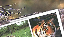 Kanha Tiger Tour,  Indian Wildlife Tour,  Wildlife India Tour,  Tiger Safari India,  Ranthambhore Tiger Tour