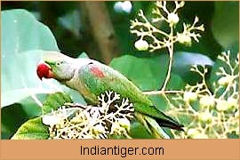 Parrot, Wildlife in Bharatpur