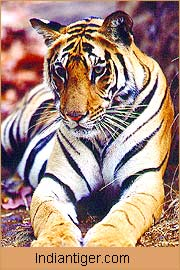 Tiger, Wildlife in Bandhavgarh