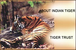 Indian Tiger,  Wildlife Tour India