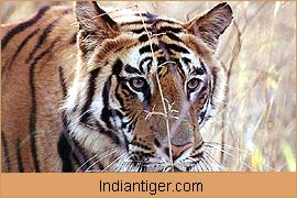 Tiger, Wildlife Tour