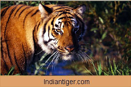 Tiger, Wildlife Tour India