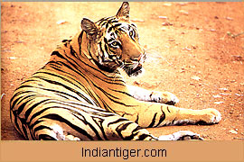 Tiger, Bandhavgarh Wildlife Tour